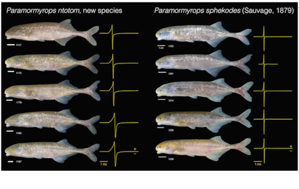The longer duration electric organ discharges or EODs of  P. ntotom  relative to those of  P. sphekodes  (shown in yellow to the right of each individual) first tipped off researchers that they might be different species. Image: John Sullivan.