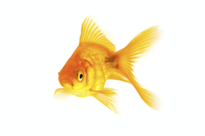 Peter the goldfish had a lucky escape. Image: Shutterstock.