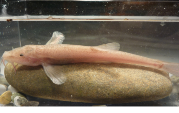The cave-dwelling loach was discovered in Germany.