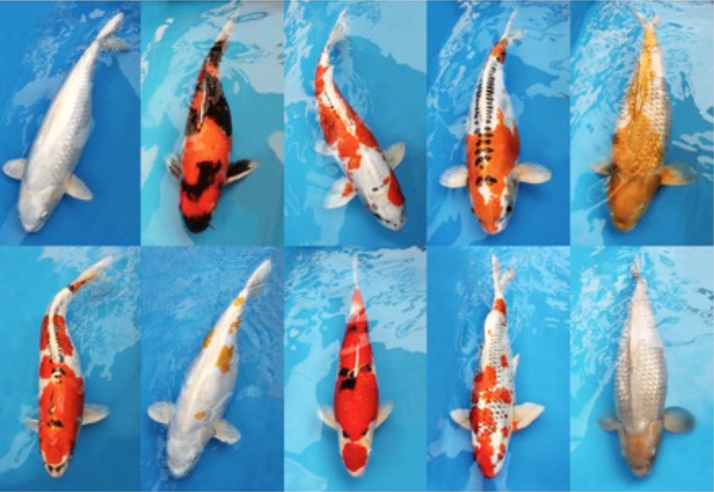 Surrey police are investigating the theft of these ten Koi from a display pond at Squire's Garden Centre. They are valued at more than £7,700.
