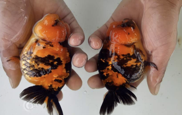 These Tiger banded Ranchu will be available for sale at Star Fisheries' forthcoming Open Day.