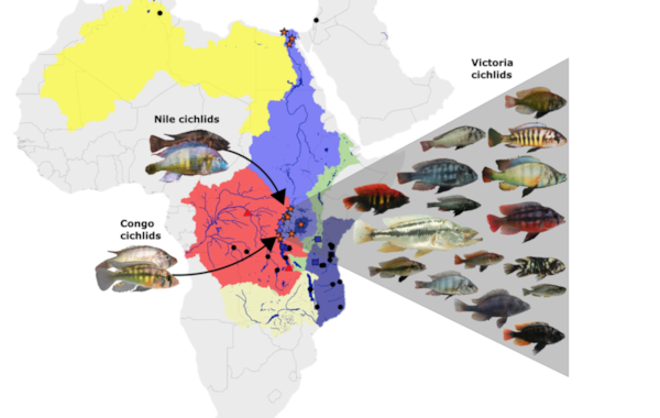 Scientists have solved the puzzle of the rapid evolution rate among cichlids in Lake Victoria. Image courtesy of EAWAG: Swiss Federal Institute of Aquatic Science and Technology.