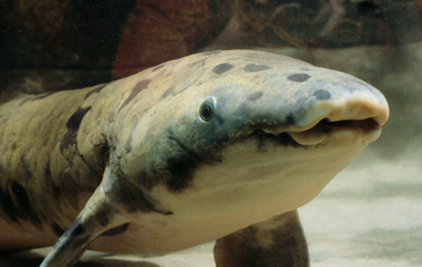 Granddad has been resident at The Shedd Aquarium for over 80 years.