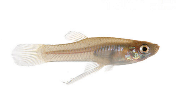 Male Eastern mosquitofish,  Gambusia holbrooki . Image by MYN/JP Lawrence/NaturePL.
