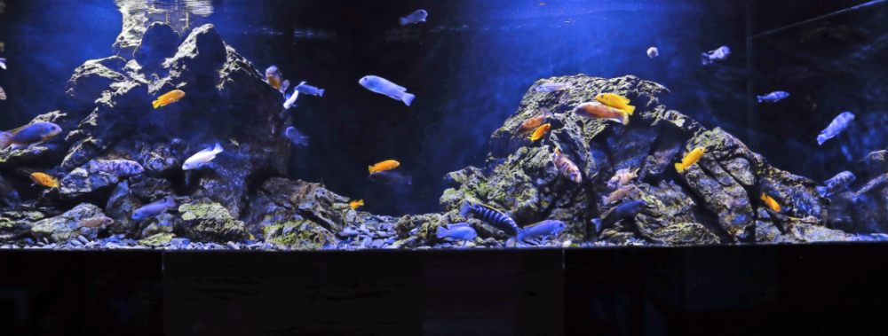 Read all about Scott's mbuna aquarium in the January issue of Practical Fishkeeping magazine.