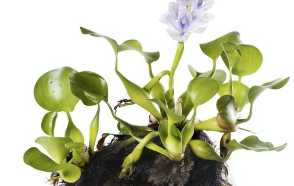 Water hyacinth.
