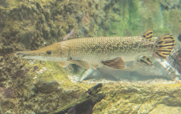 The Alligator gar can reach 2.7m/9ft in length. Image by Alamy.