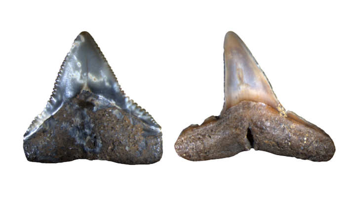 Fossils from the Pliocene: A shark tooth from  Carchahinus leucas  on the left, and from  Negaprion  on the right.Image: University of Zurich.