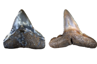 Fossils from the Pliocene: A shark tooth from  Carchahinus leucas  on the left, and from  Negaprion  on the right. Image: University of Zurich.