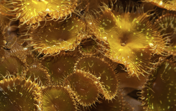 Some zoanthids are known to produce toxins.
