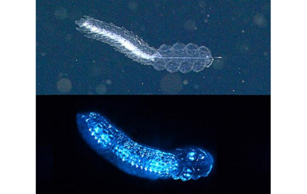 A siphonophore,  Frillagalma vityazi , lit up by lights on a remotely operated vehicle (top) and emitting bioluminescence in the lab (bottom). Top image: 2015 MBARI. Bottom image: Steve Haddock,MBARI.