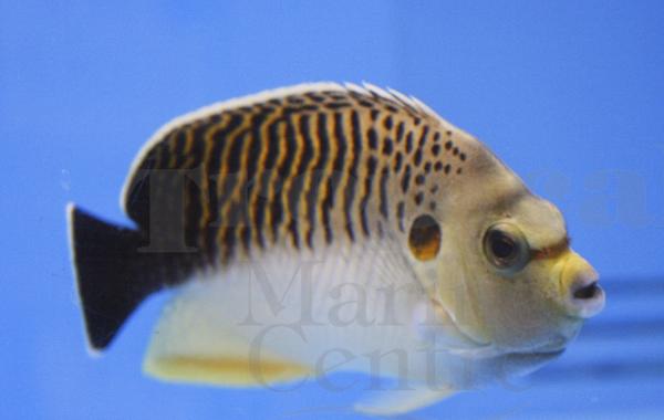 Tiger angelfish,  Apolemichthys kingi.  Picture courtesy of TMC.