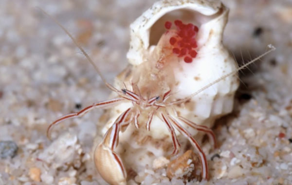 A female of the new hermit crab species,  Pylopaguropsis mollymullerae . Rafael Lemaitre and Ellen Muller.