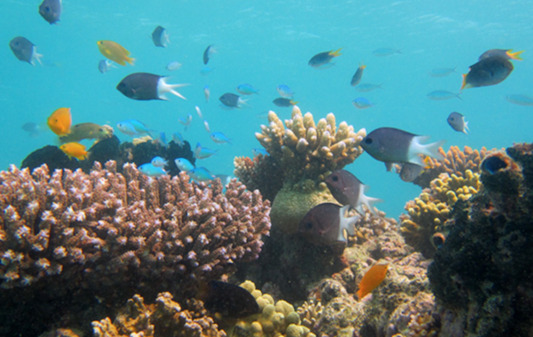 Lizard Island coral reef with the study species, Spiny damselfish, Acanthochromis polyacanthus . Image by Jodie L. Rummer