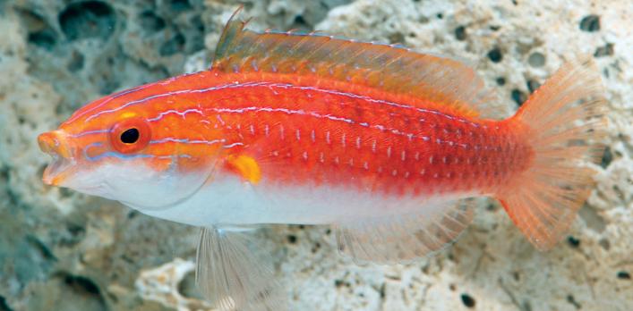 Female  Cirrhilabrus hygroxerus .Image by M. P. Hammer
