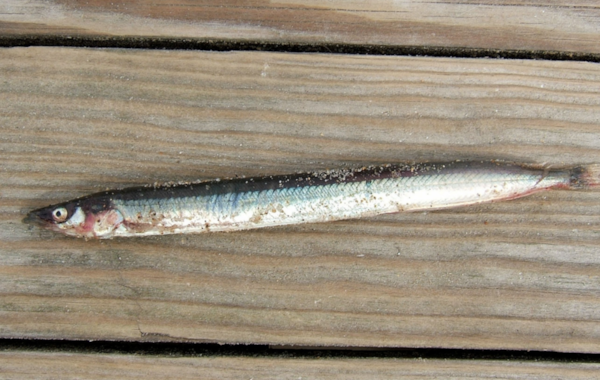 A sand eel, similar to those discovered in Mr Bain's garden. Image by MPF, Creative Commons.