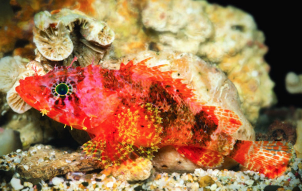 Stellate scorpionfish,  Scorpaenodes barrybrowni . Image by Barry Brown.