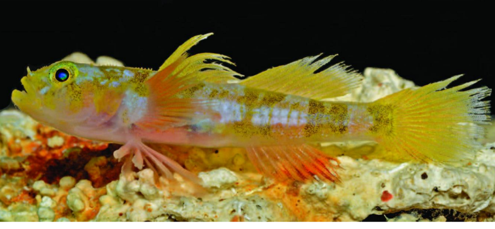 The Godzilla goby,  Varicus lacerta , which the Smithsonian team discovered earlier this year. Image by Barry Brown.