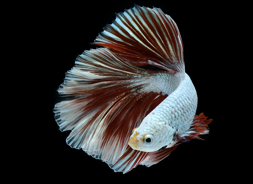 While two male  Betta  are pretty much guaranteed to fight in the aquarium, in their natural habitat they tend to be more choosy about which rival to take on.