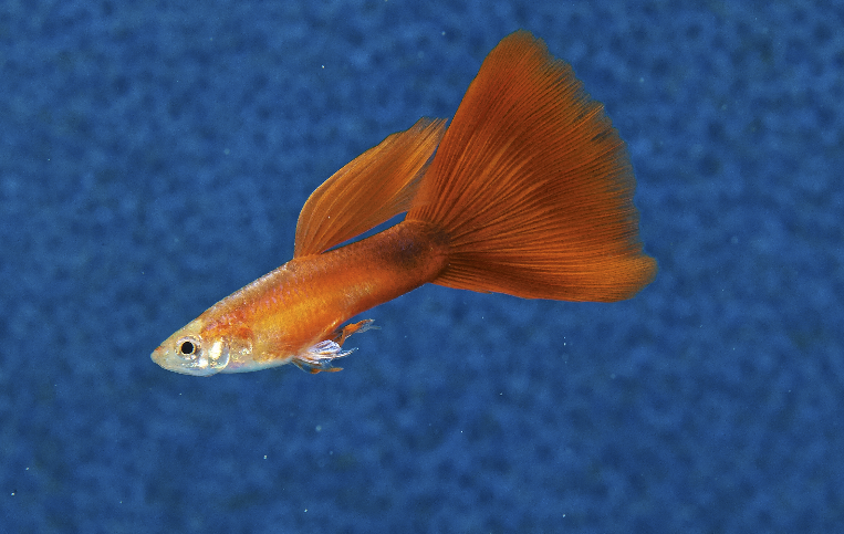 Don't try to keep guppies with male Fighters. These mild-mannered livebearers won't stand a chance when the  Betta  mistakes them for a rival.