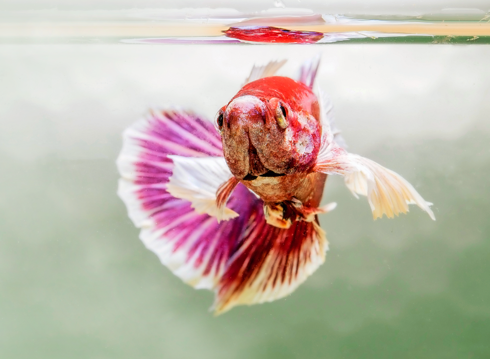 One of Lisa Bradshaw's fabulous  Betta . Image by Nathan Hill.