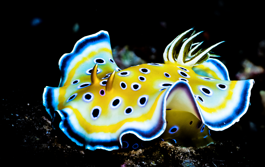 If food manufacturers crack the diet of difficult nudibranchs, they could be one of the next 'big things'in the hobby.
