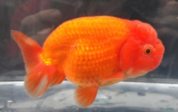 Alex King's winning goldfish.