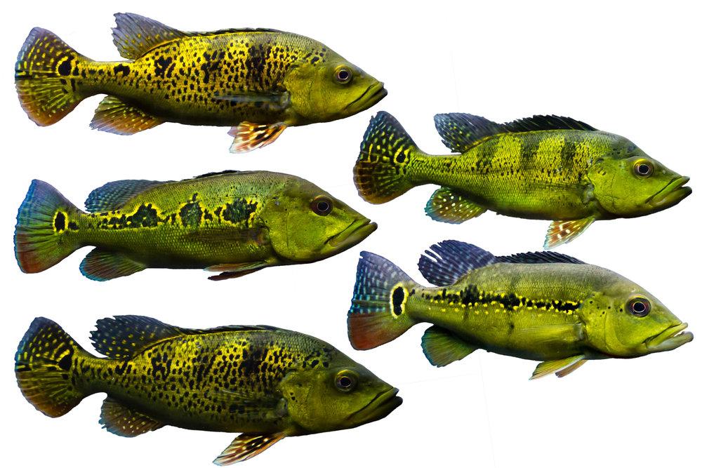 Peacock bass, credit Shutterstock.