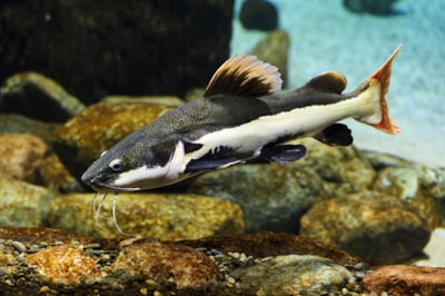 Red tail catfish, credit Shutterstock.