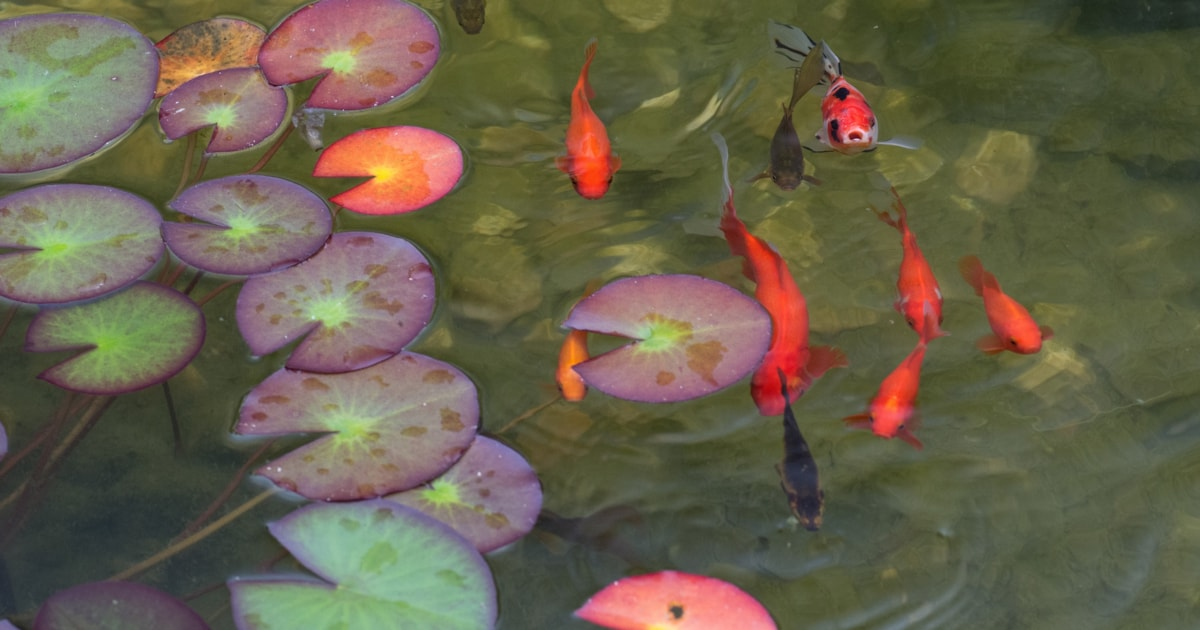 Supporting Your Fish And Pond Throughout The Winter Practical Fishkeeping