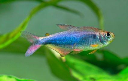 Imperial blue rainbow tetra,  Hyphessobrycon  sp.