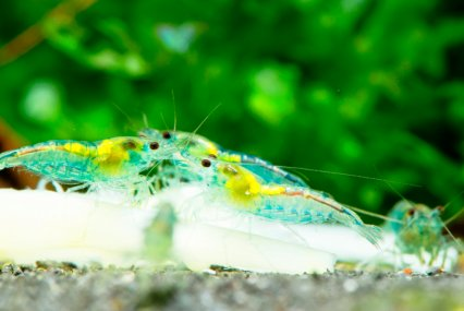 Gabor includes a wide range of green foods in his shrimps' diet.