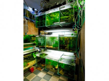 Gabor's fish house is home to more than 40 tanks, of around half are dedicated to freshwater shrimp.