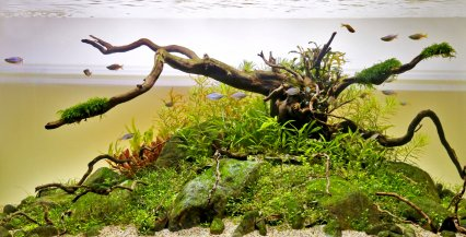The planted set-up is home to Dwarf neon rainbowfish.