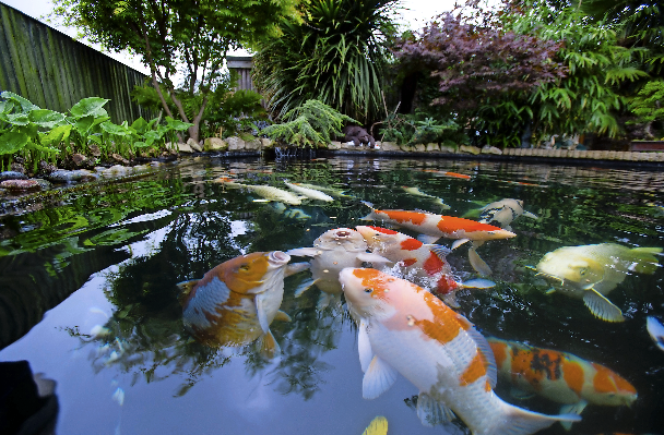 Feeding time for the Koi brings excited mouths begging.