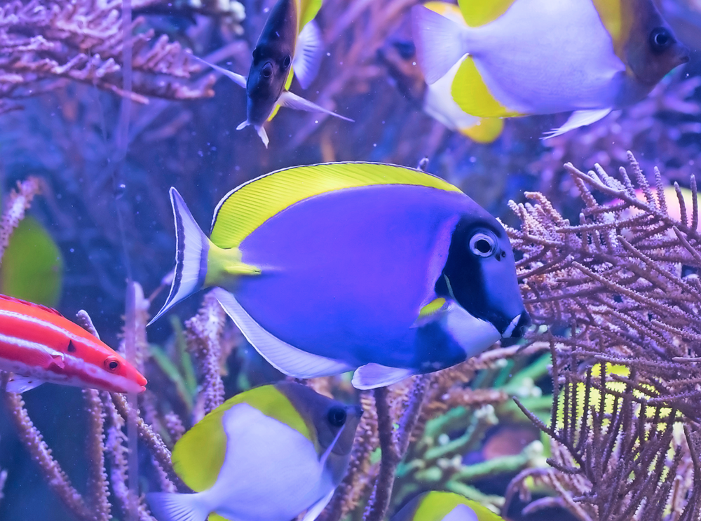 Powder blue tang.