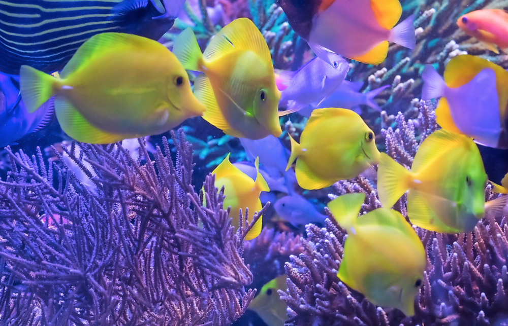 The tank includes a shoal of 14 Yellow tangs.