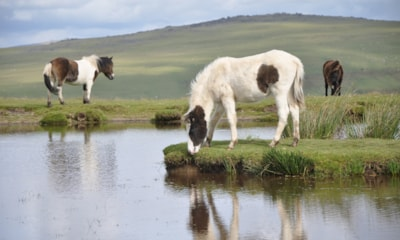 Dartmoor Pony's