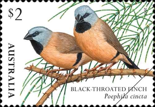 finches-of-australia-ii-black-throated-finch.png.auspostimage.500-0.low-03308.jpg