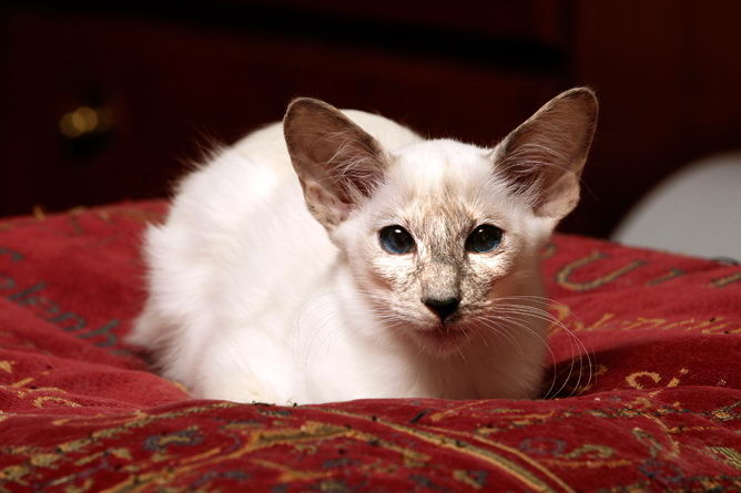 Balinese Cat Breed Information And Advice Your Cat