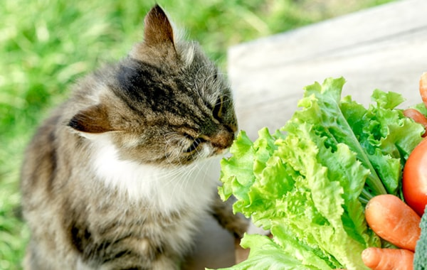 can-i-feed-my-cat-a-vegan-diet