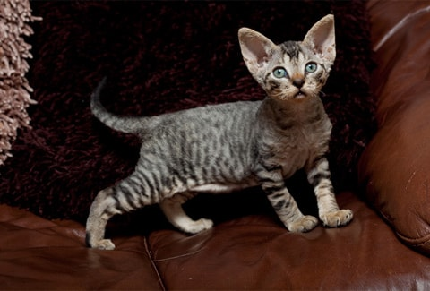 Devon Rex cat breed information and advice  - Your Cat