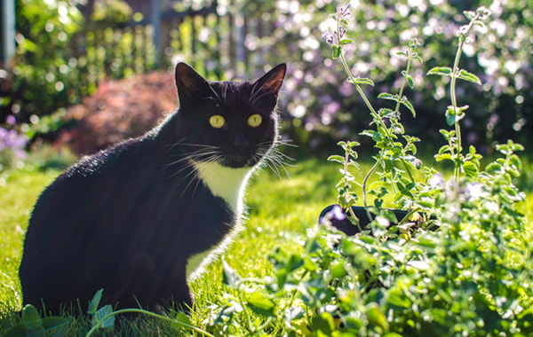 how-can-i-grow-catnip-at-home