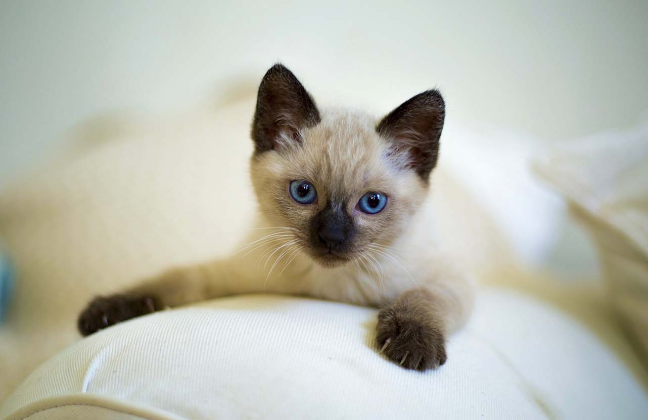 how to choose a good cat breeder