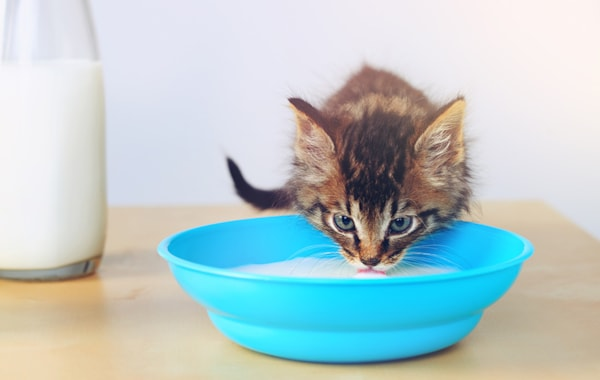 Is soya milk safe for cats?