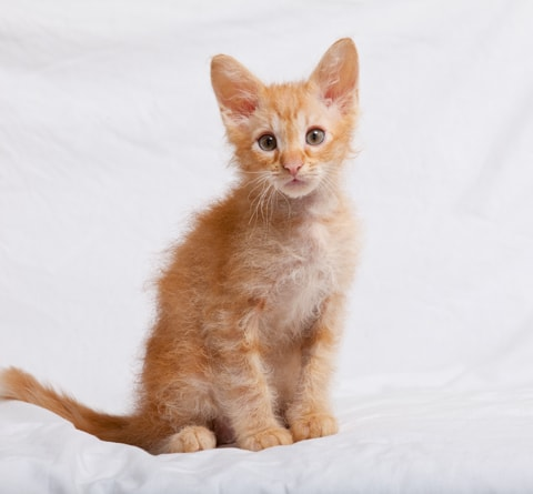 LaPerm cat breed infor...