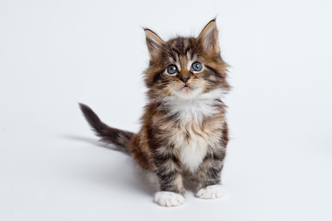 Maine Coon Cat Breed Your Cat