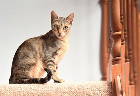 Sokoke cat breed information
