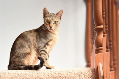 Sokoke cat breed information