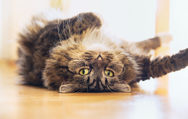 what-should-i-feed-my-diabetic-cat